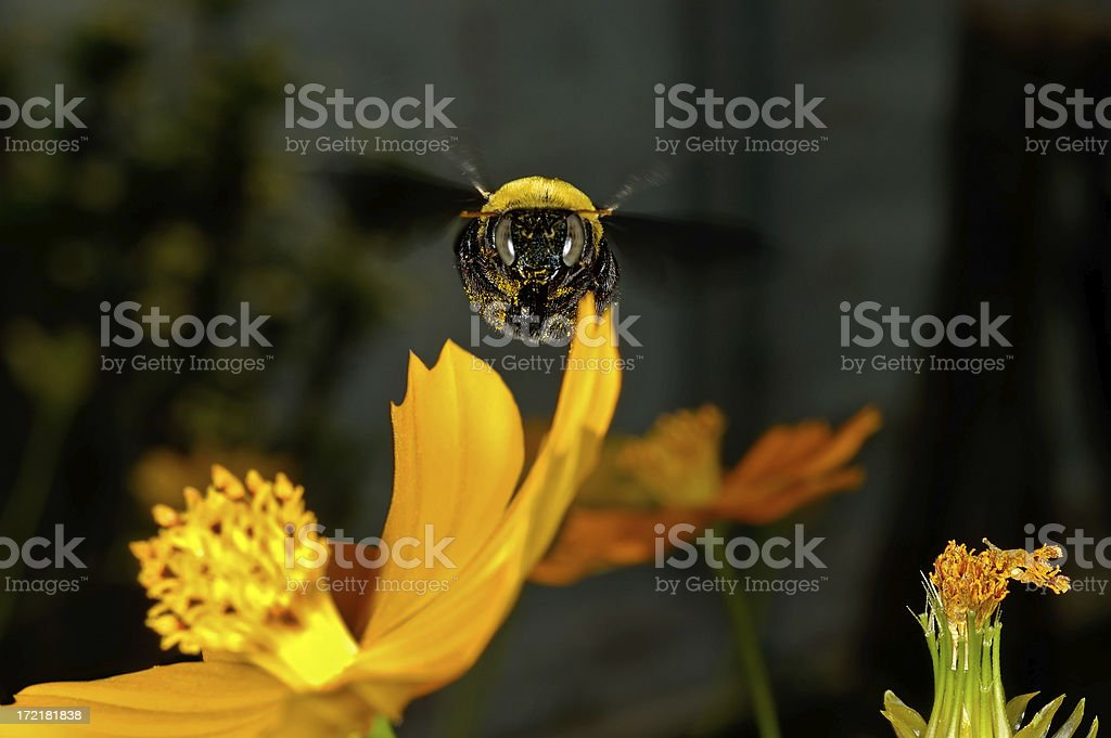 Flying Carpenter Bee royalty-free stock photo