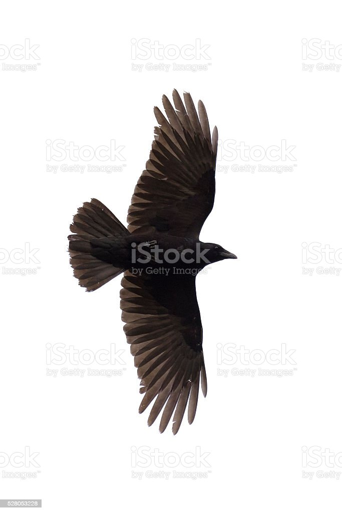 Flying carrian crow isolated on white stock photo