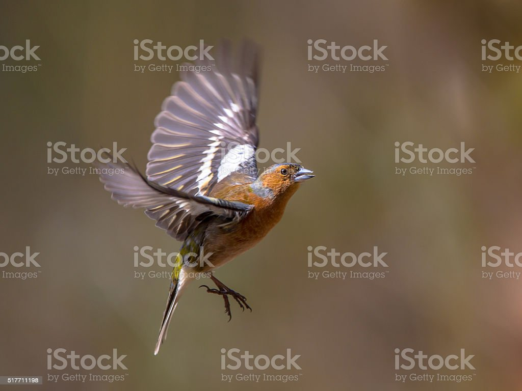 Flying Chaffinch stock photo