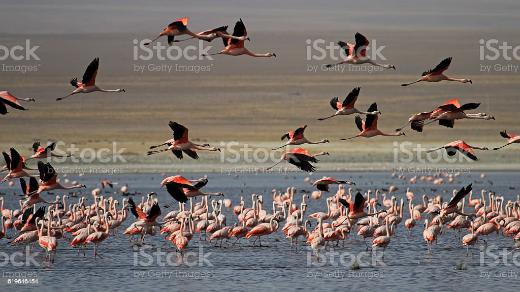 Flying chileflamingos, lake Tajsara, southern Bolivia stock photo
