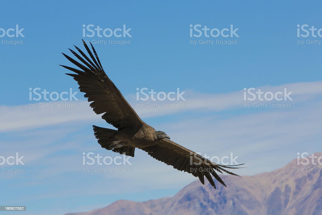 Flying condor over Colca canyon,Peru,South America. stock photo