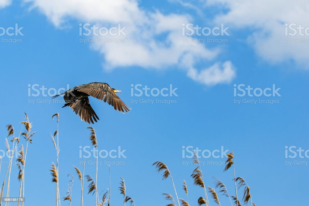 Flying cormorant under the blue sky stock photo