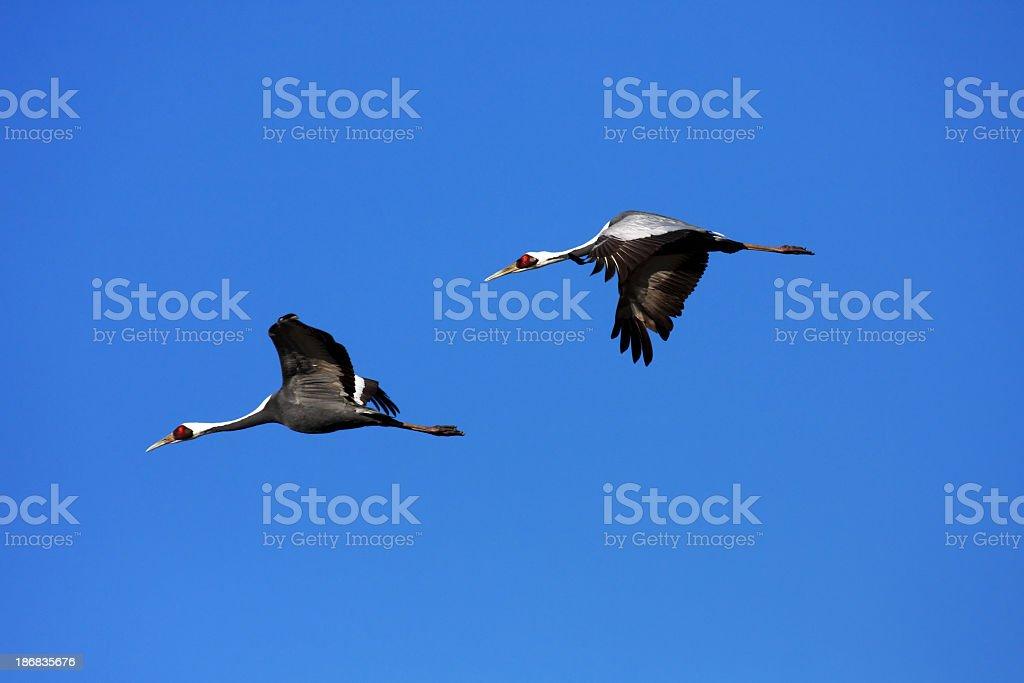 Flying Cranes Lizenzfreies stock-foto