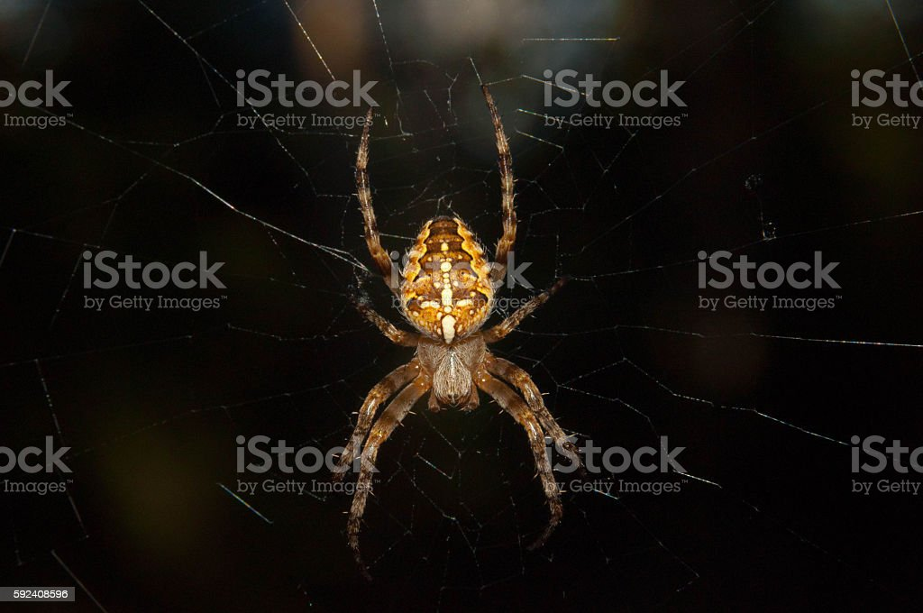 Flying cross spider stock photo