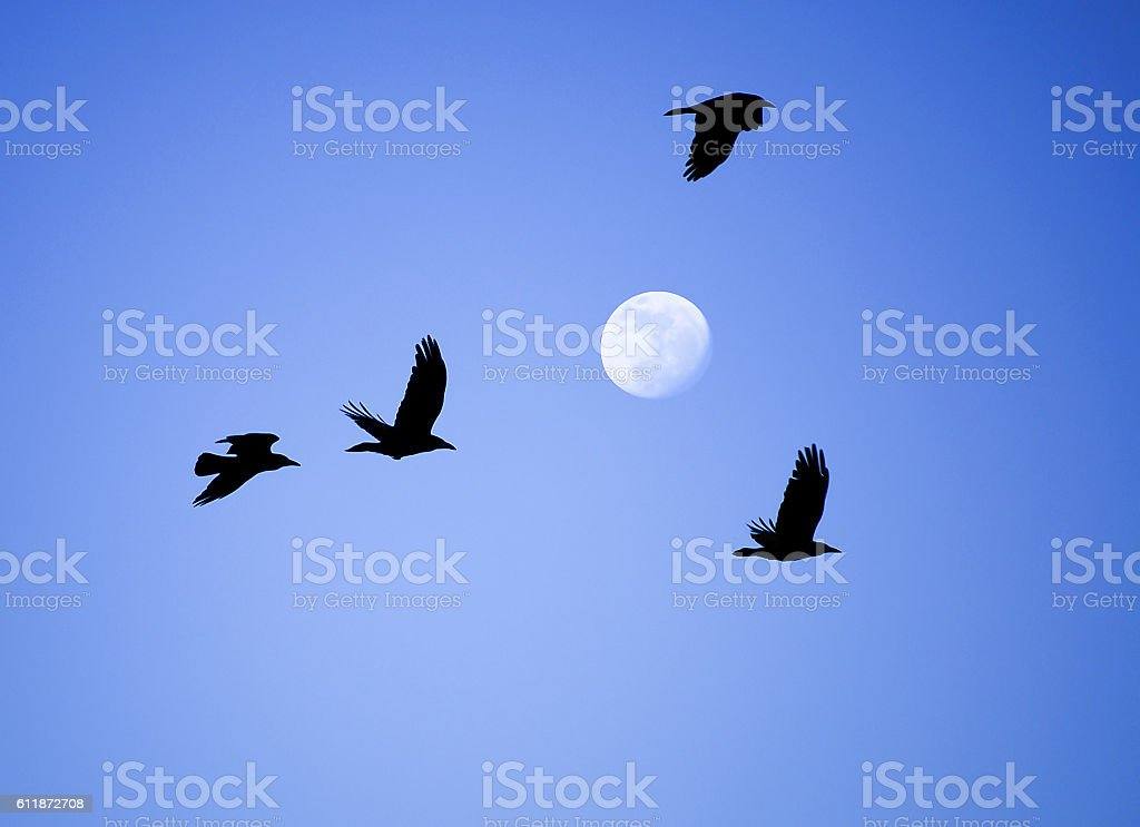 Flying crows on the background of the moon stock photo