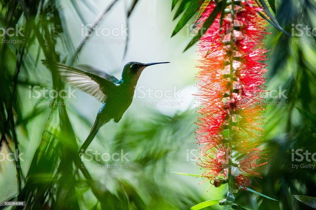 Flying Cuban Emerald Hummingbird stock photo