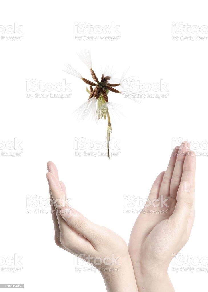 flying dandelion on open hand royalty-free stock photo