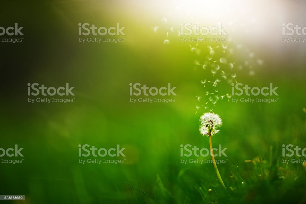 flying dandelion seeds in nature stock photo