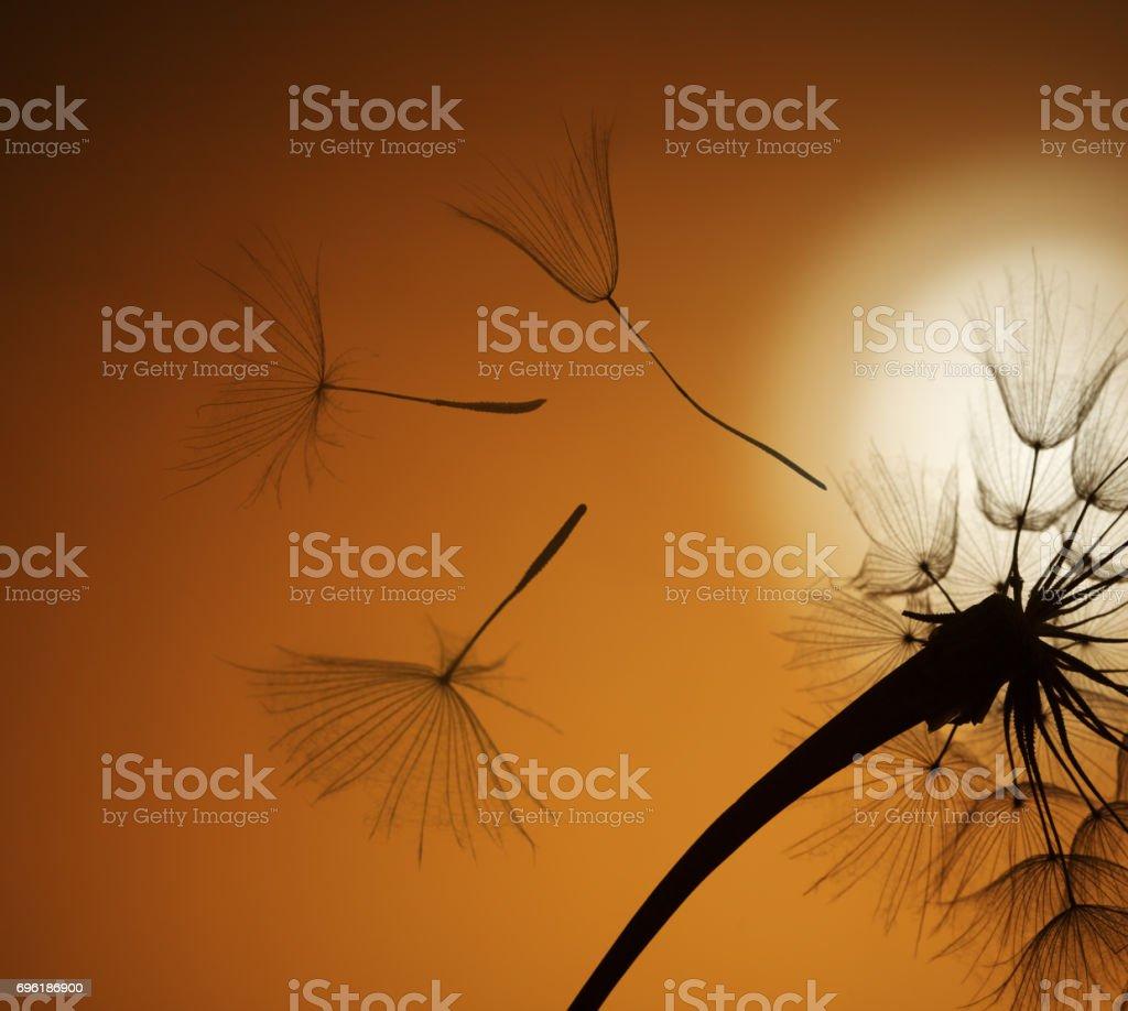 flying dandelion seeds stock photo