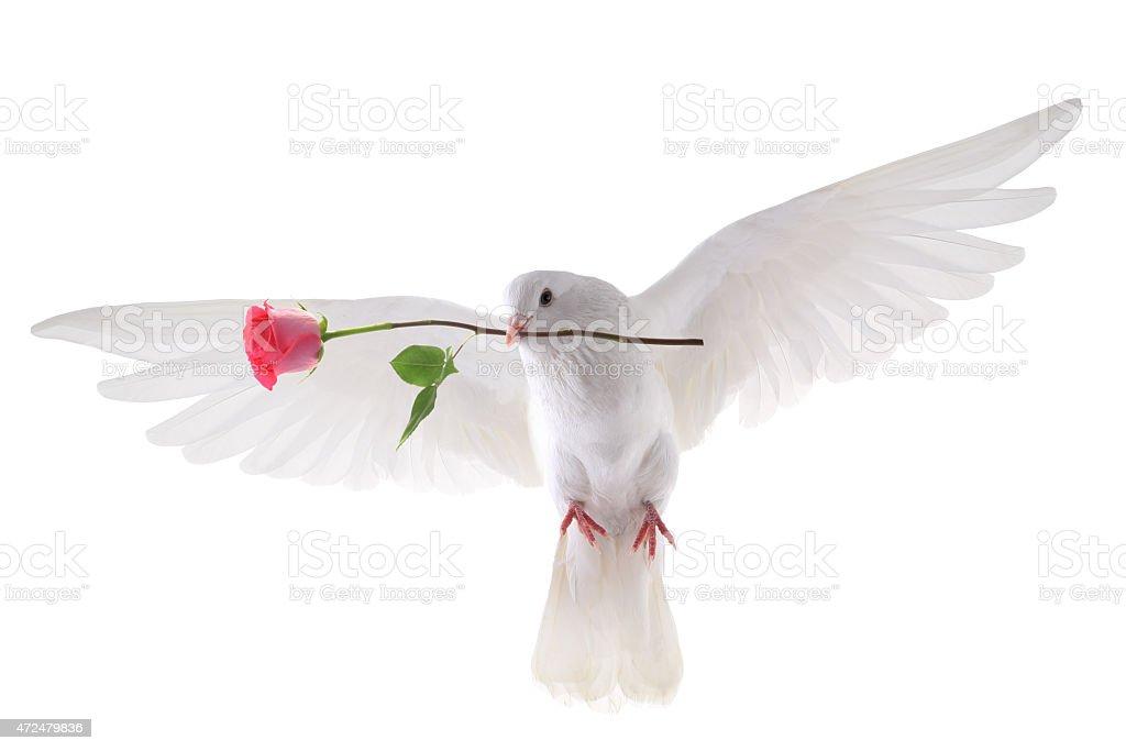 flying dove stock photo