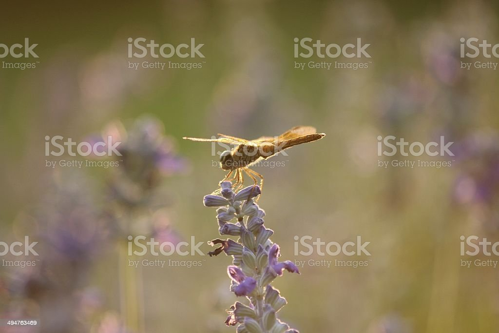 Flying dragonfly in the evening light stock photo
