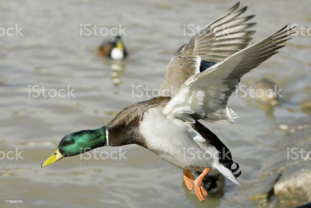 Flying Drake stock photo