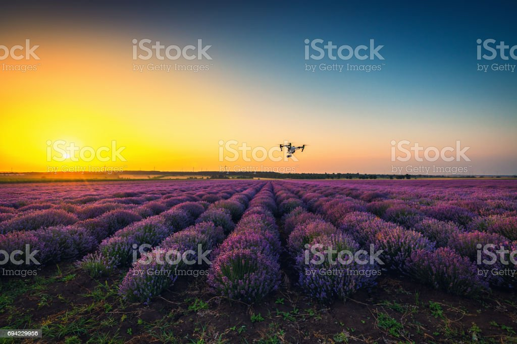 Flying drone and lavender field, golden sunset stock photo