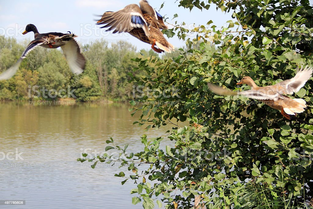 Flying ducks from a hunting stock photo