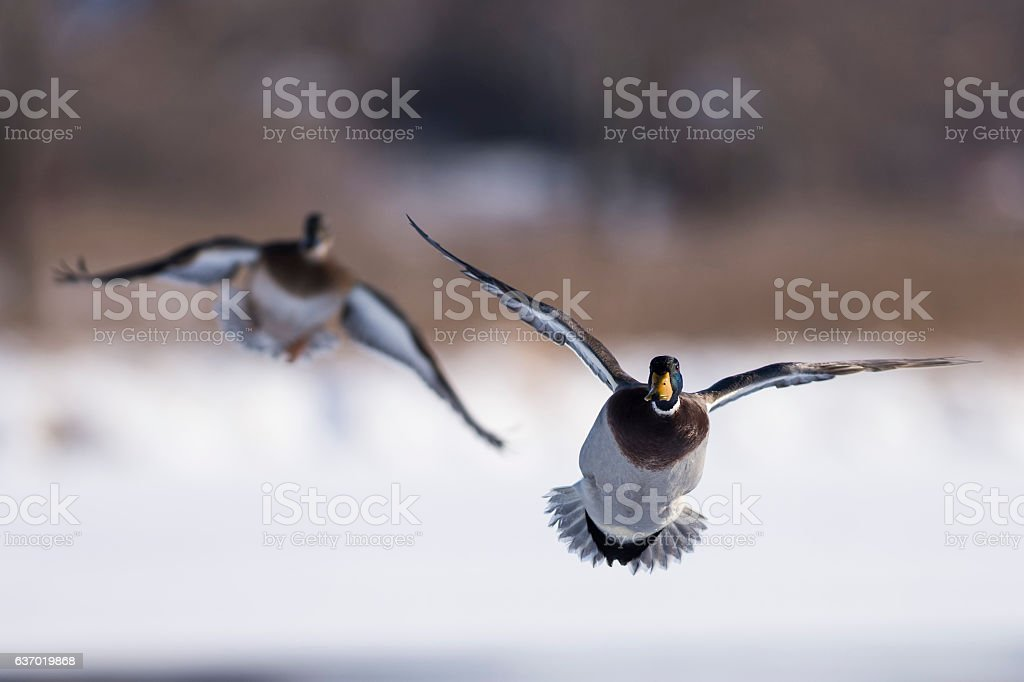 Flying Ducks stock photo