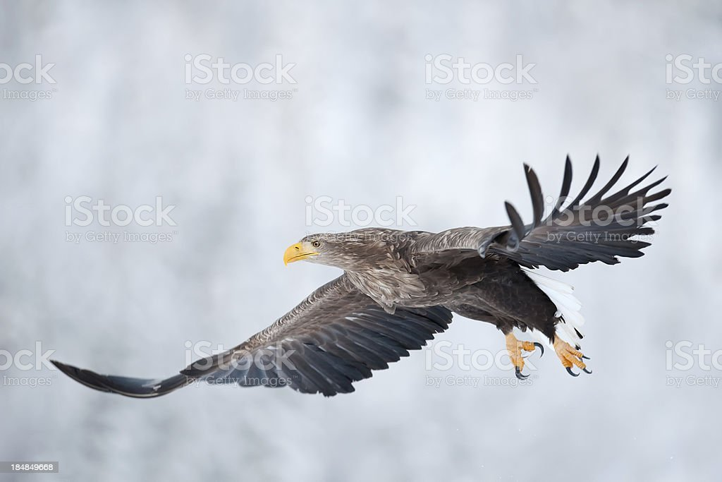 Flying Eagle in the Wild stock photo