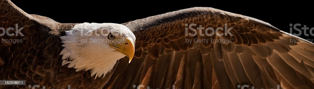 flying eagle stock photo