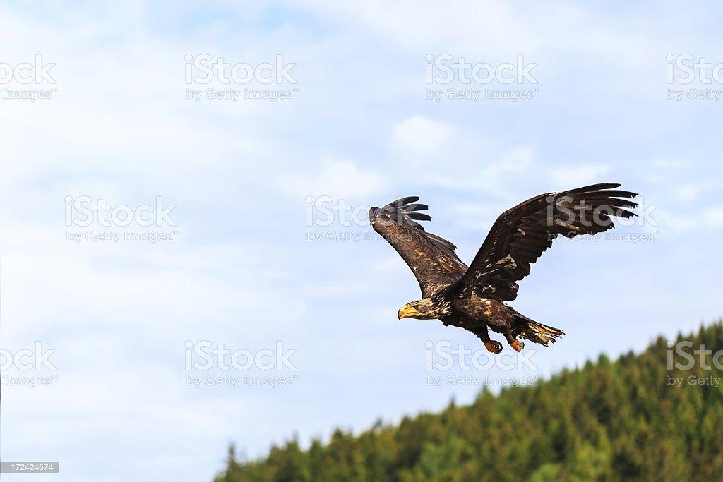 Flying eagle royalty-free stock photo