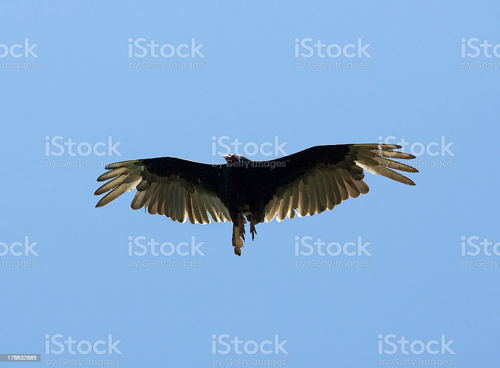 Flying Eagle royalty-free stock photo