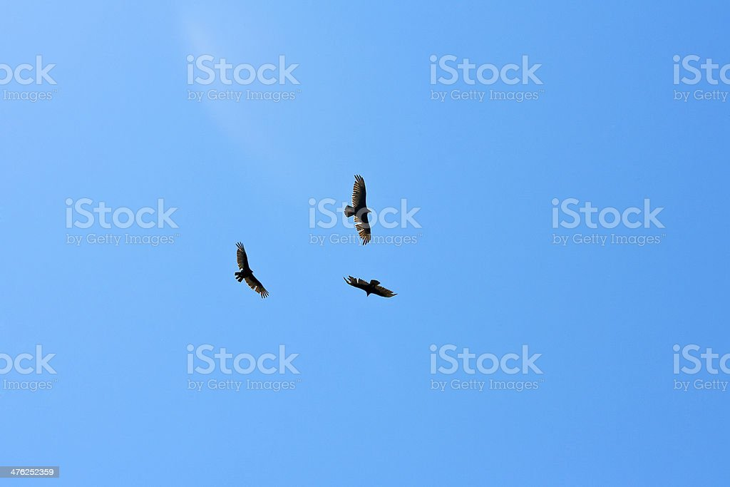 Flying Eagles royalty-free stock photo