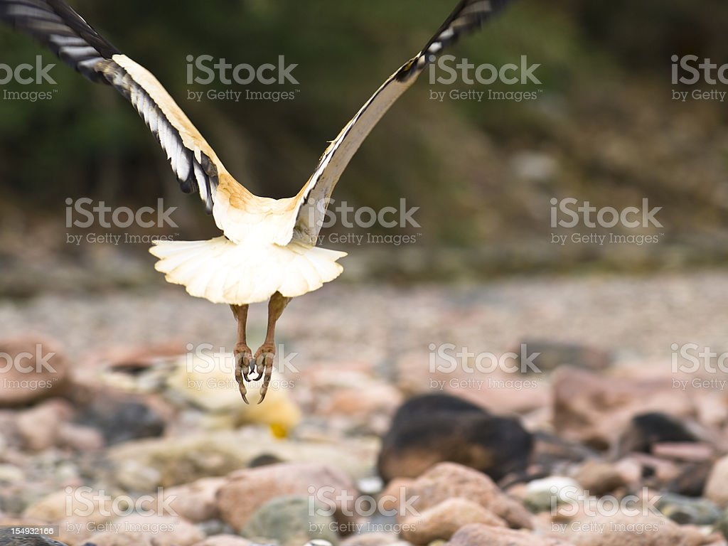 Flying Egyptian Vultures stock photo