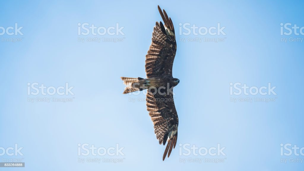 Flying Falcon at over head view stock photo