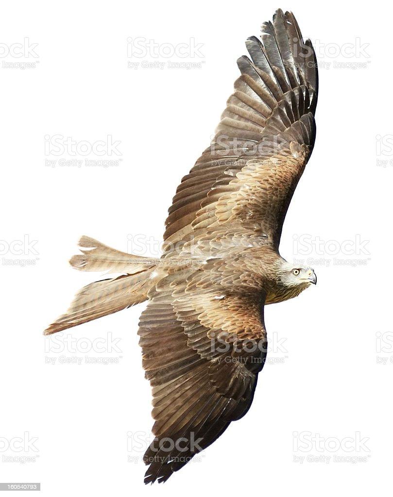 Flying falcon on white background royalty-free stock photo