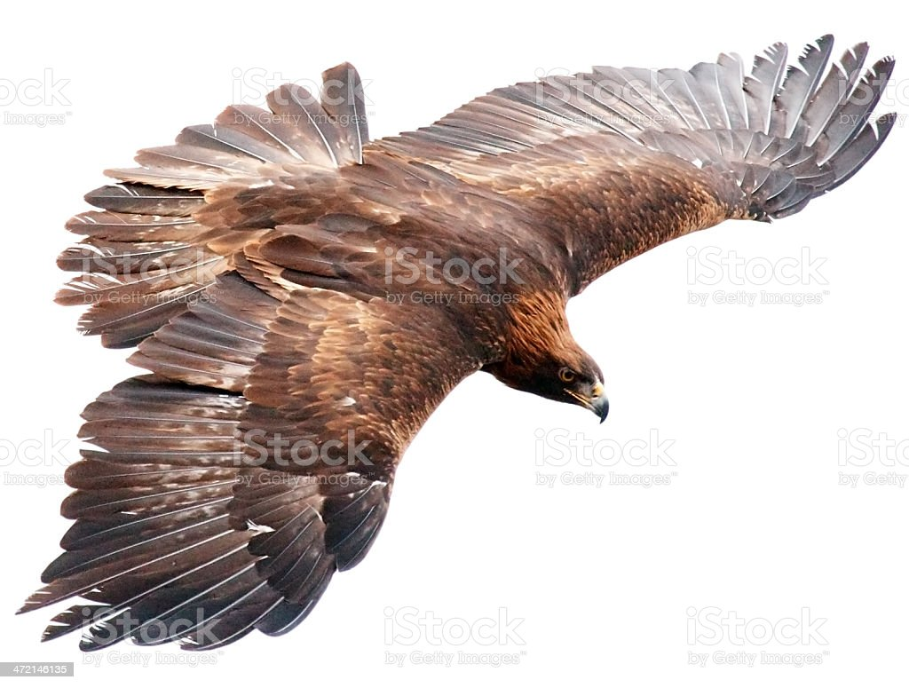 Flying falcon on white background stock photo