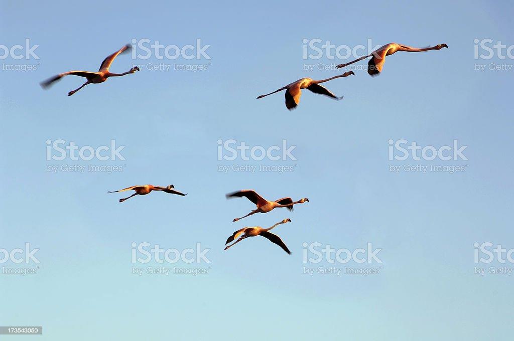 Flying flamingo birds, Galapagos stock photo