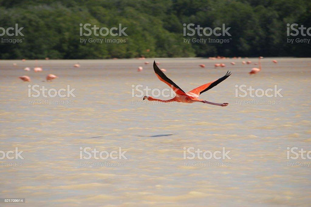 Flying Flamingo stock photo