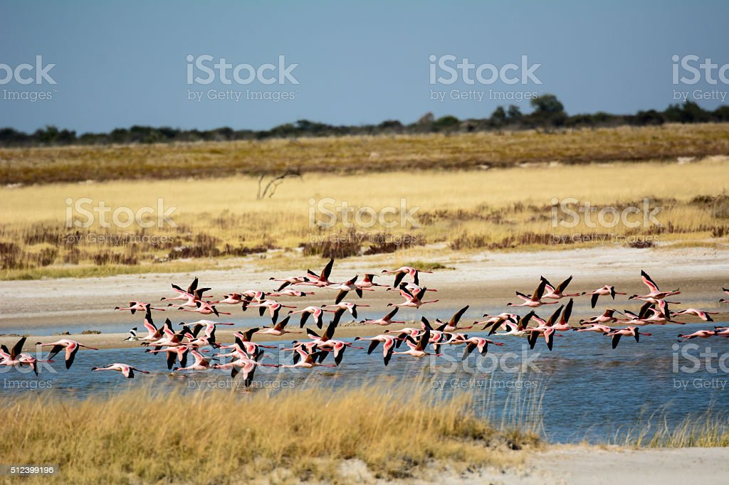 Flying Flamingos in Etosha stock photo