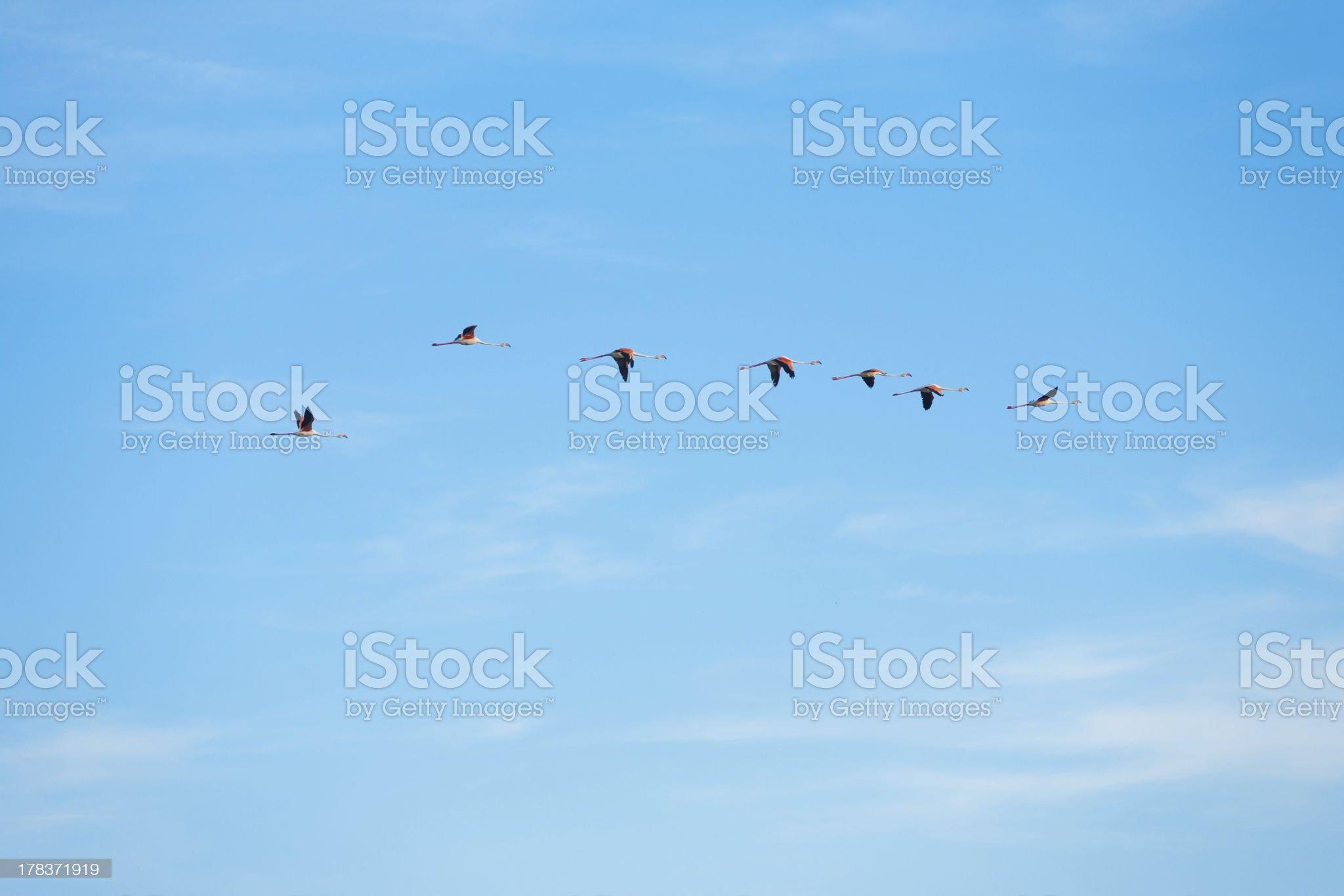 Flying Flamingos Line royalty-free stock photo
