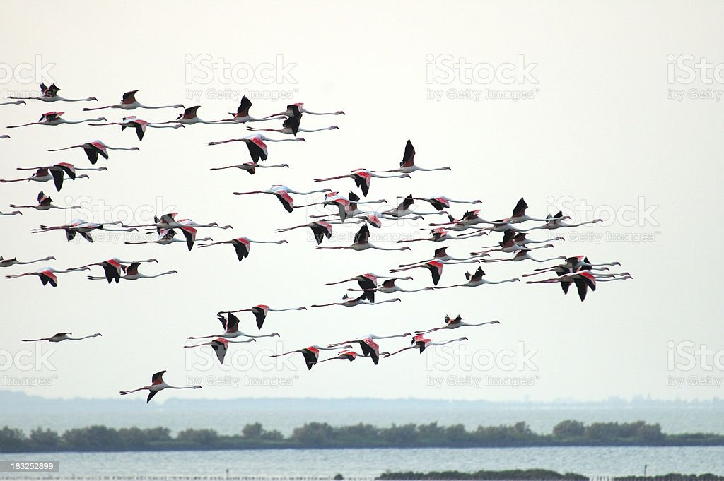 Flying flamingos royalty-free stock photo