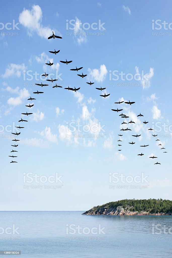 XL flying flock of geese stock photo