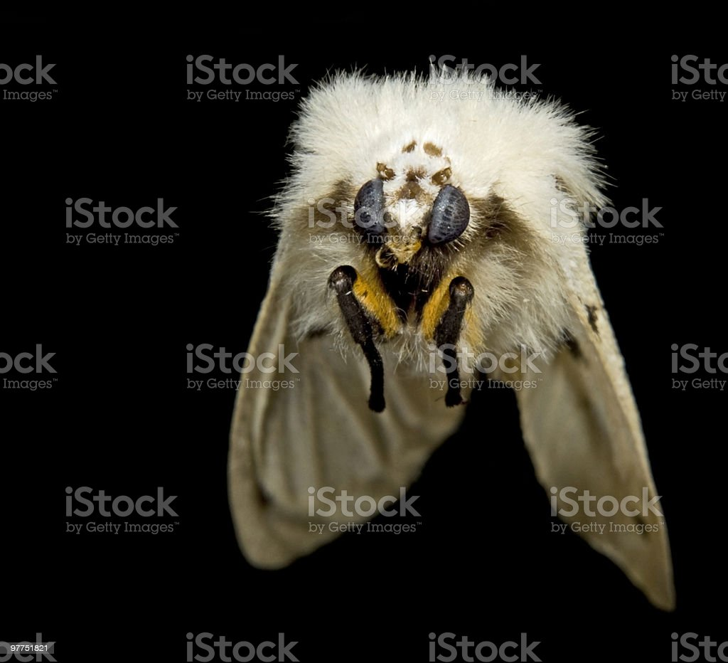 flying fluffy moth stock photo