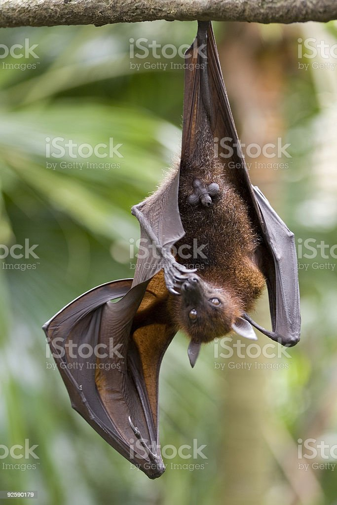 Flying Fox 2 royalty-free stock photo