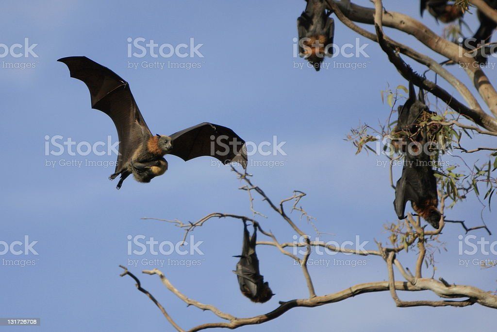 Flying Fox and Baby royalty-free stock photo