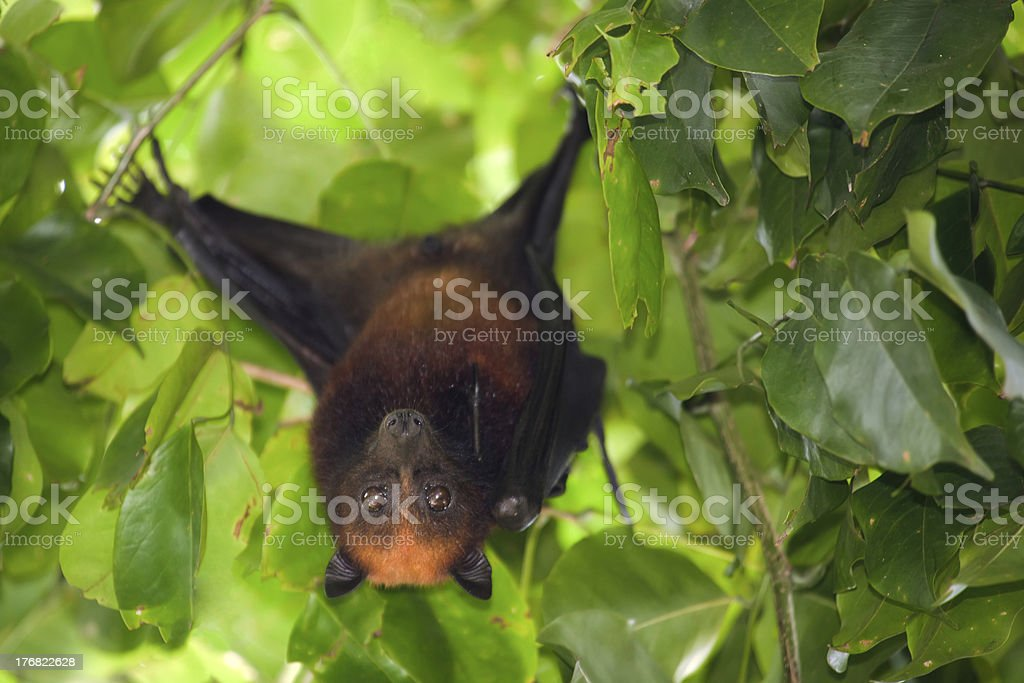 flying fox bat royalty-free stock photo