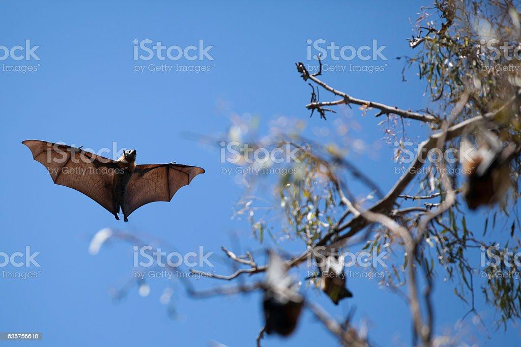 Flying Fox - Bat stock photo