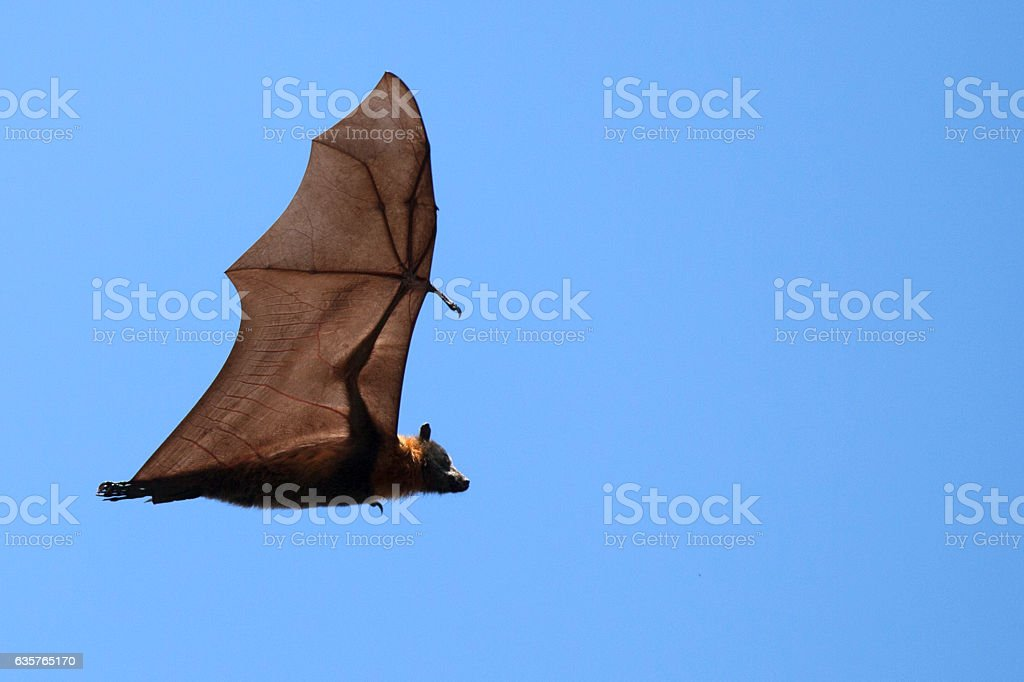 Flying Fox Bat stock photo