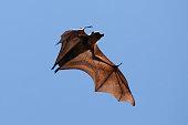 Flying fox bat