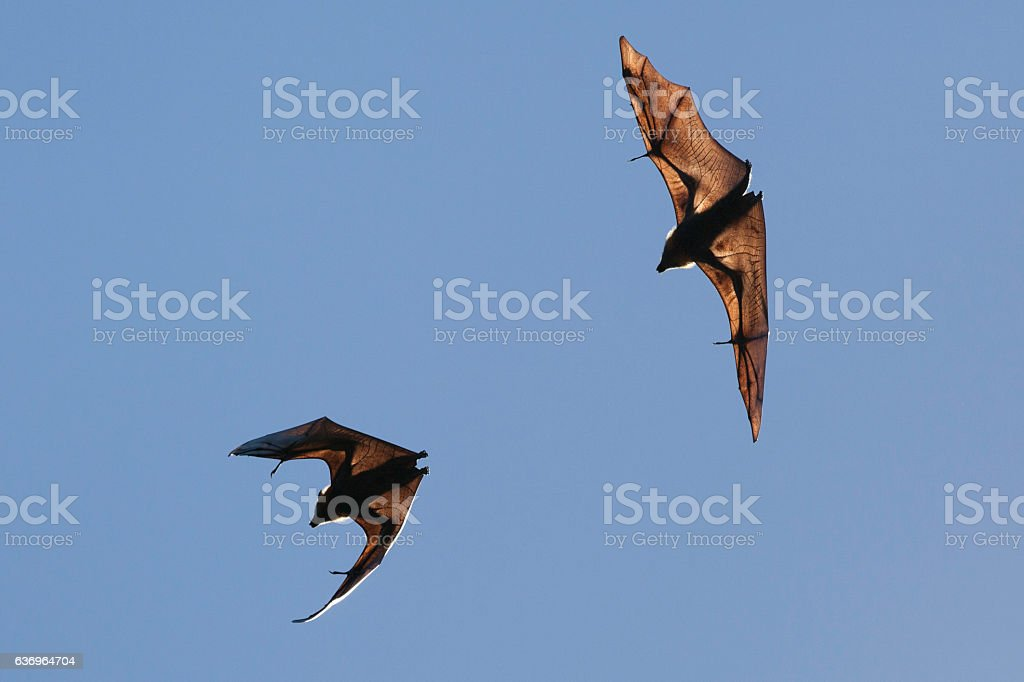 Flying fox bats stock photo