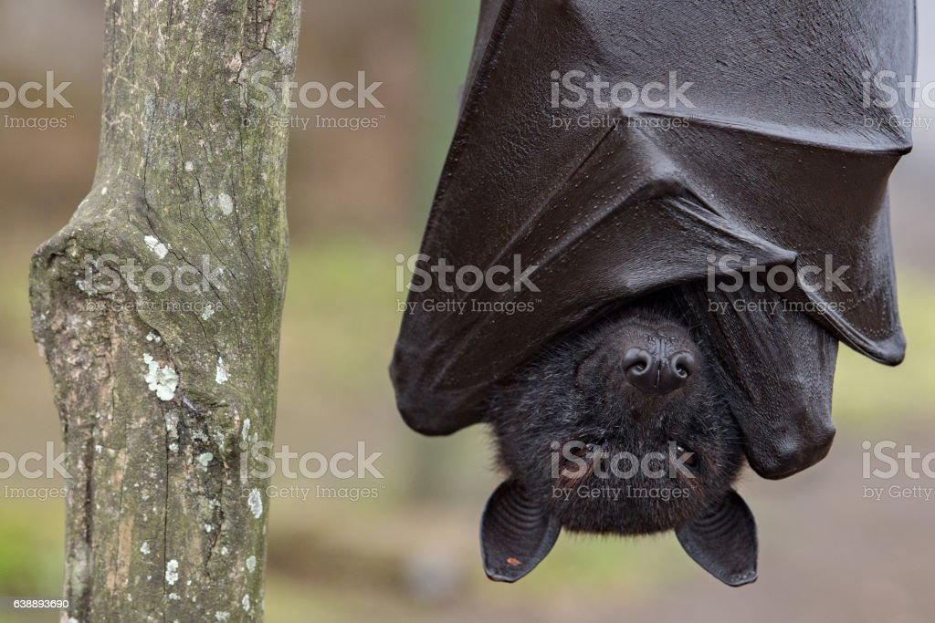Flying fox close up portrait detail view stock photo