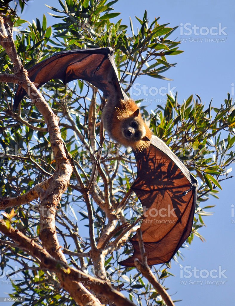 Flying Fox (Fruit Bat) hanging from a tree stock photo