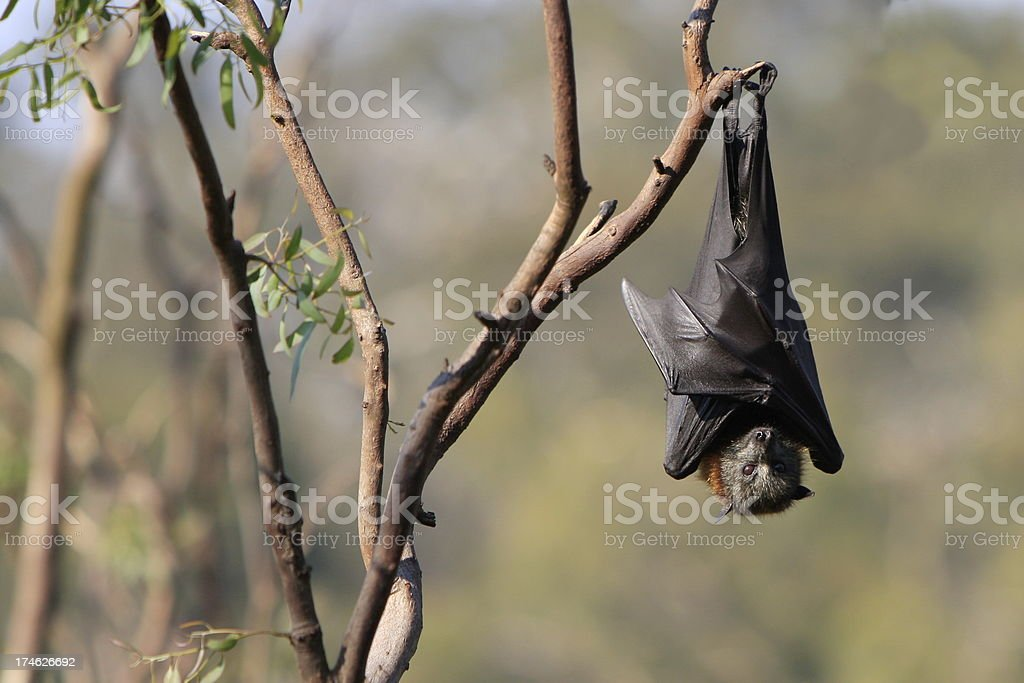 Flying Fox Hanging Upside Down royalty-free stock photo