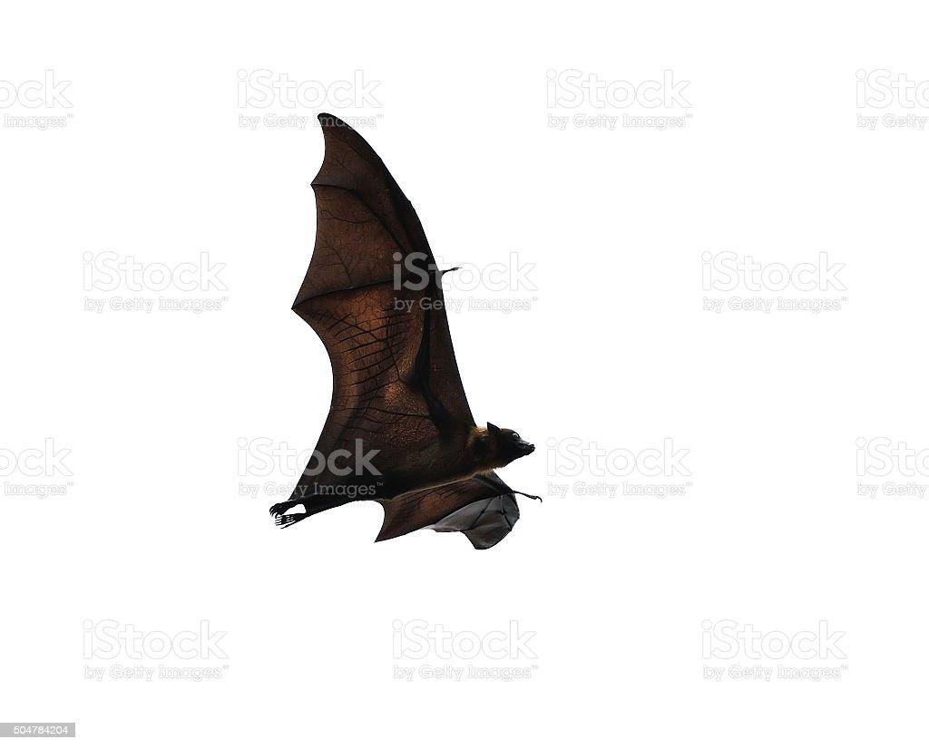 flying fox - huge bat isolated on white background stock photo