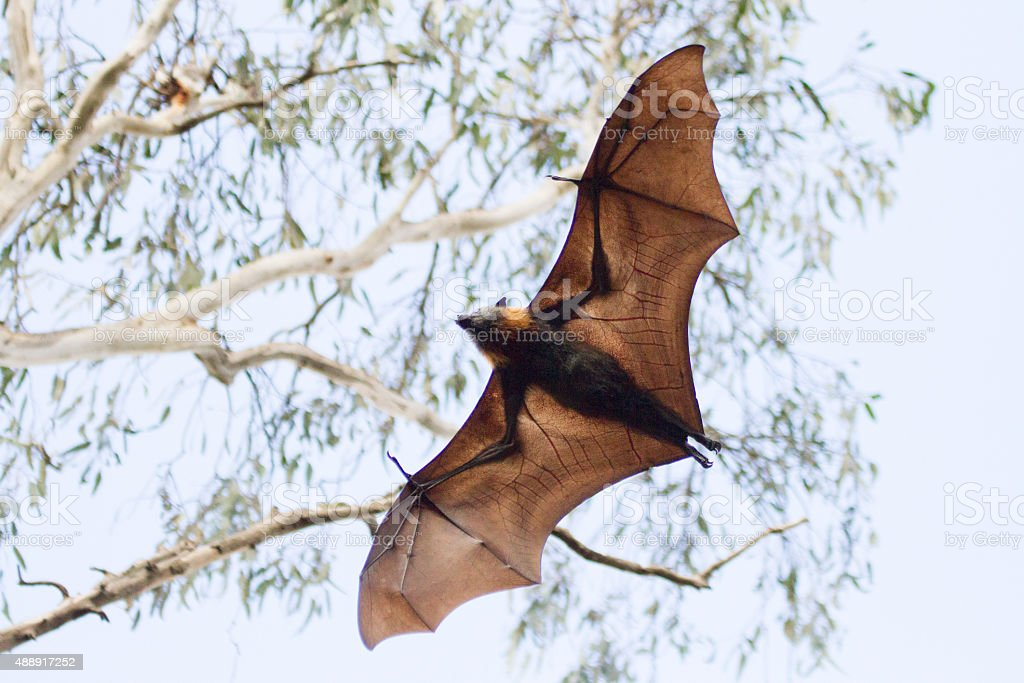 Flying Fox in Mid Air stock photo