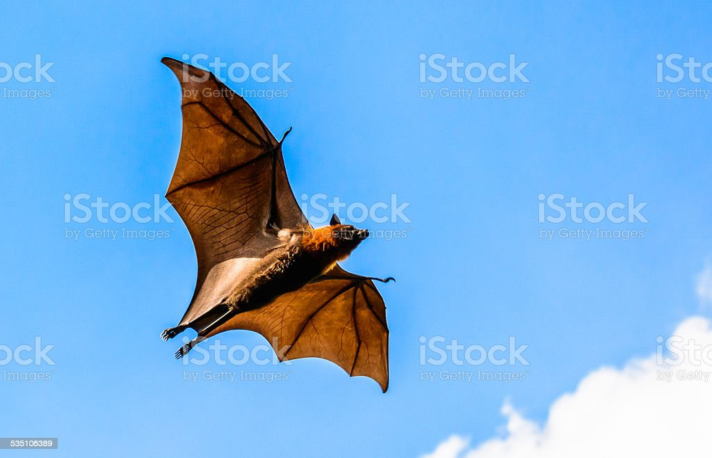 Flying fox on blue sky stock photo