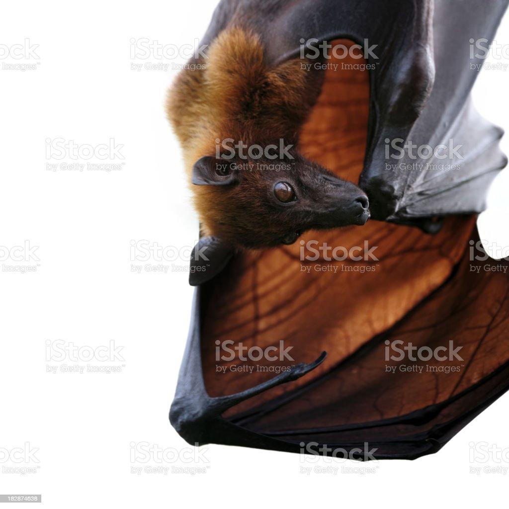 flying fox royalty-free stock photo