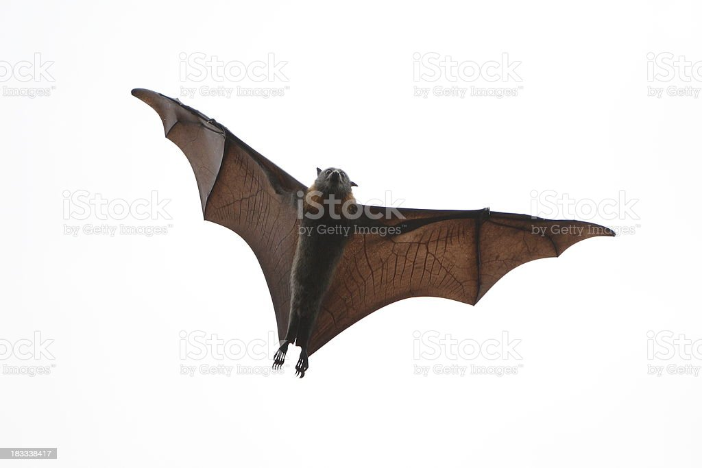 Flying Fox stock photo